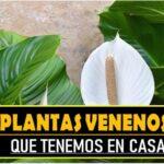 5 plantas venenosas que tenemos en casa