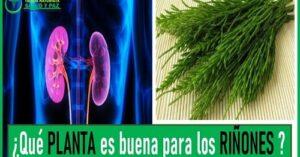 plantas buenas para los riñones